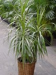 Dragon Tree Plant